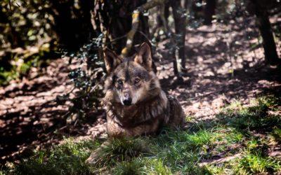 ¿Conoces la leyenda del lobo protector de peregrinos?